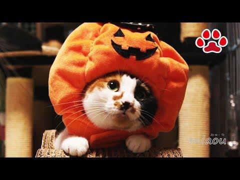 ハロウィン みけカボチャ写真撮影の様子【瀬戸の三毛猫日記】Mi-ke's cute halloween photography