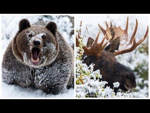 Зима близко: как к холодам готовятся дикие звери, рыбы и насекомые