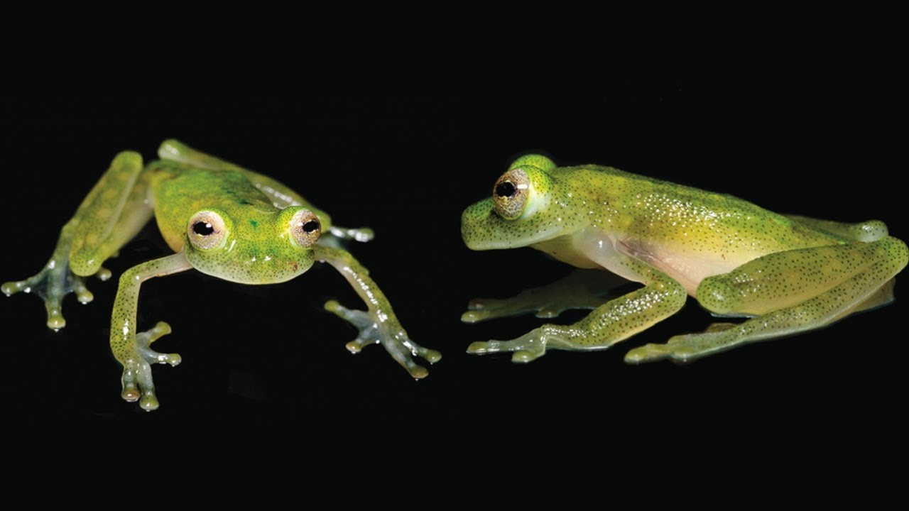 Hyalinobatrachium yaku - a new glassfrog from Ecuador - YouTube