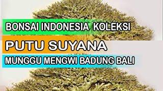 Bonsai Indonesia Koleksi Putu suyana Munggu bali