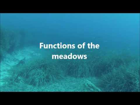 Poseidonia oceanica _ MER