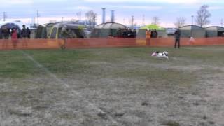 近所の練習仲間パピヨンの「ハワイ」 2013年 DDJ小型犬グランドチャ...