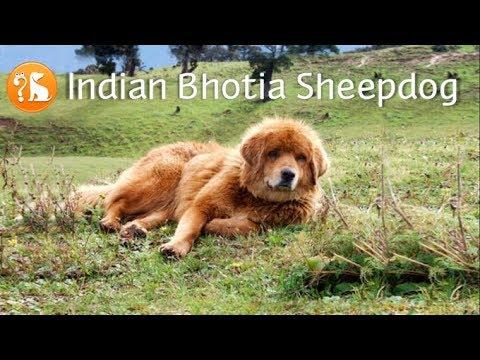 Indian Bhotia Dog (Bhotia Sheepdog, Bhotia Shepherd, Pahari Kutta)