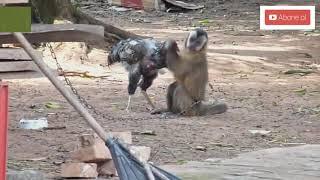 Kafa Atıyor Ato & Horoz Maymun Kavgası :) :)