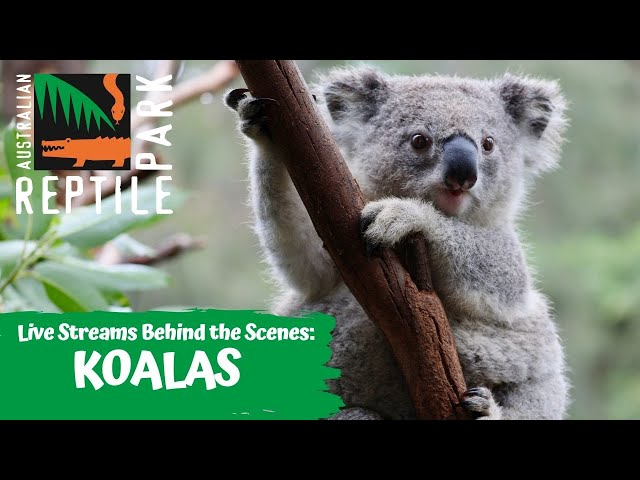 LIVE WITH GIZMO THE KOALA   AUSTRALIAN REPTILE PARK
