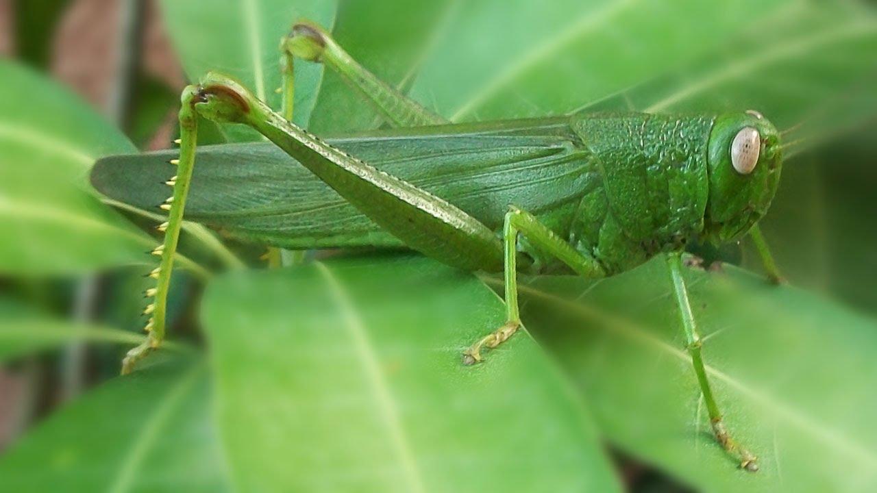 A Big bug - Filipino Katydid - Green Grasshopper - Large ...