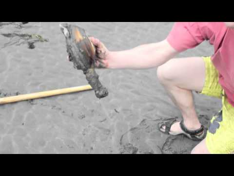 Geoduck Clamming on Whidbey Island