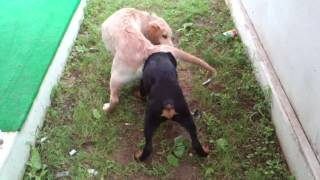 Golden Retriever 5 Months Felixx With Rottweiler 4 Months Pasha Antalya