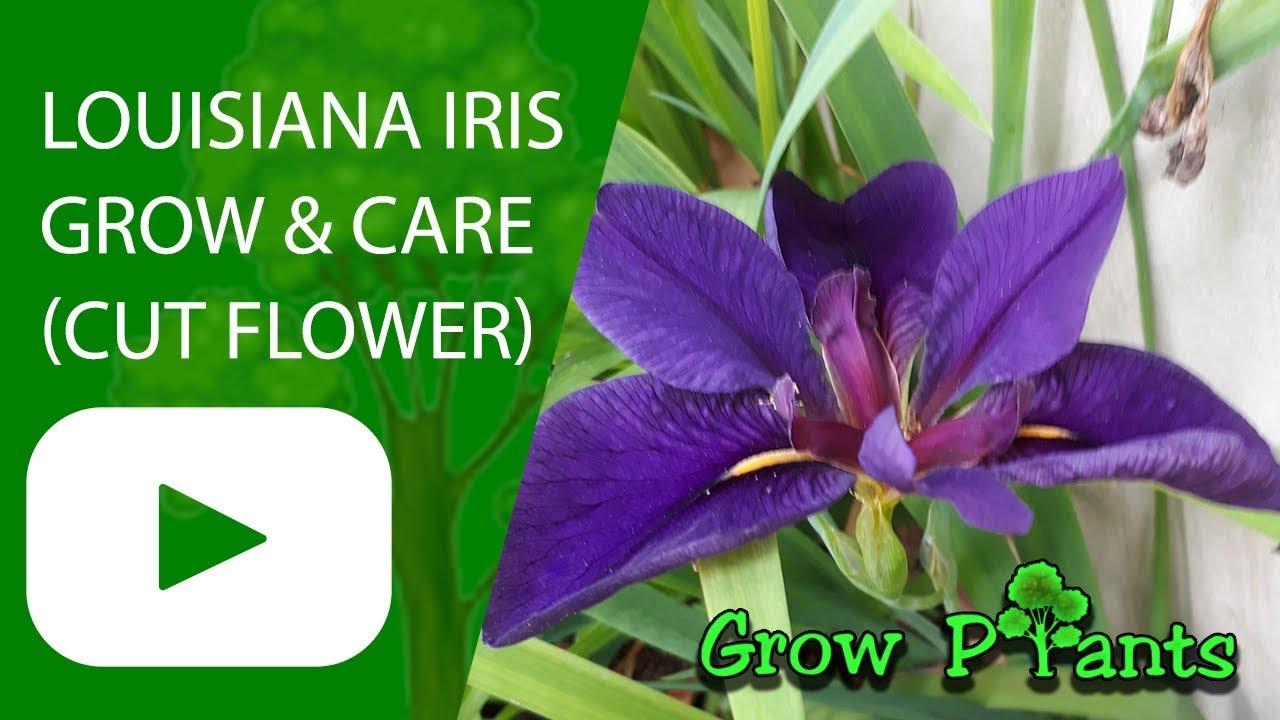 Louisiana iris plant grow care and cut beautiful flowers swamp louisiana iris plant grow care and cut beautiful flowers swamp irises izmirmasajfo