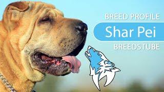 Shar Pei Breed, Temperament & Training
