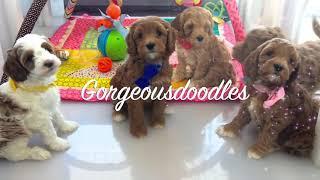 Labradoodle Puppies, 3 weeks to 8 weeks old