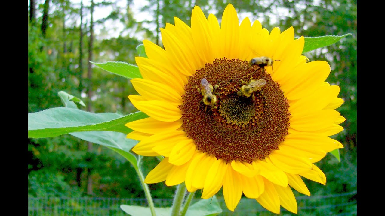Pollination Process Sunflower and Bee - YouTube