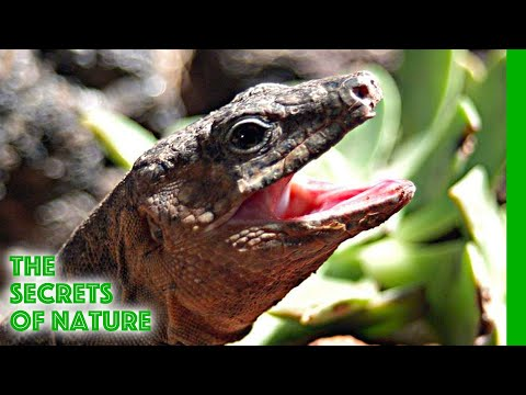 The Dragons of the Canaries - The Secrets of Nature
