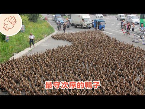爺爺帶5千隻鴨子過馬路 | 將會是你人生中第一次見到的事物 第六集