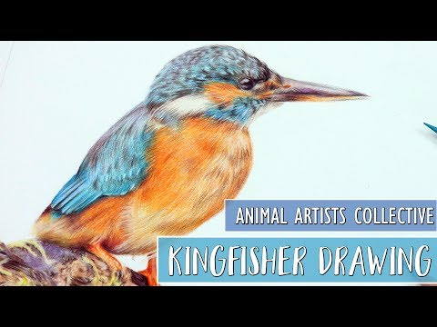 Animal Artists Collective | Drawing A Kingfisher With Colored Pencils