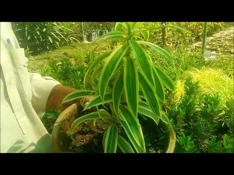 17 - How to Care Dracaena  song of india plant in winter season   Urdu   Hindi