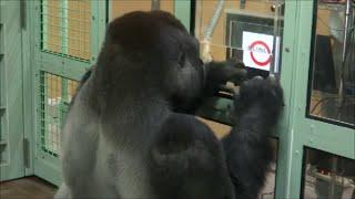 京都市動物園・ゴリラのお勉強(Gorilla ,  Kyoto city zoo)