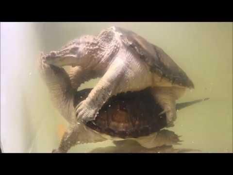 北美擬鱷龜交尾 common snapping turtle mating