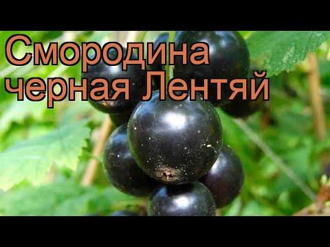 Смородина черная Лентяй (ribes nigrum lentiai) 🌿 Лентяй обзор: как сажать, саженцы смородины Лентяй