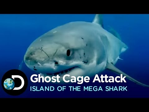 Great White Attacks Ghost Cage | Island of the Mega Shark