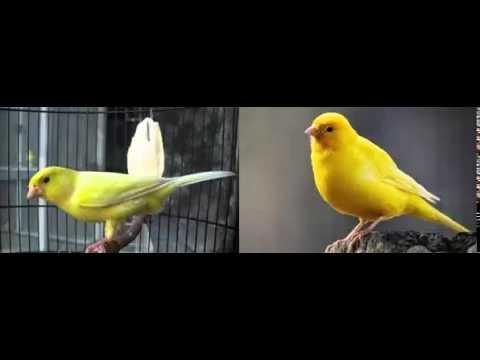 Download Lagu Suara Kenari Gacor Ngeriwik Cocok Untuk Masteran Segala Kenari