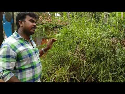Bryophyllum - Spice garden tour