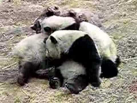 Panda fighting - YouTube