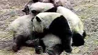 Panda fighting