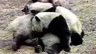 Panda fighting