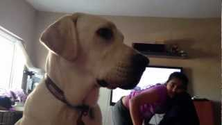 Labrador Retriever Knows His Maths Amazing!