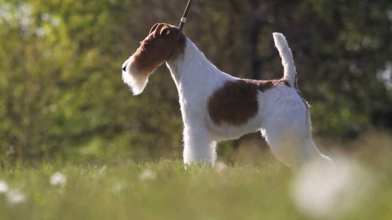 Sky The Wire Fox Terrier - YouTube