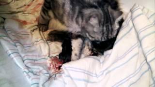 рождение котят (Слабонервным не смотреть)