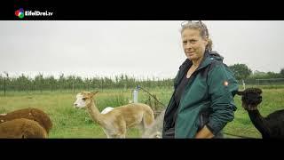 #EifelDreiTV #Werbung #Alpakas #Eifelstars