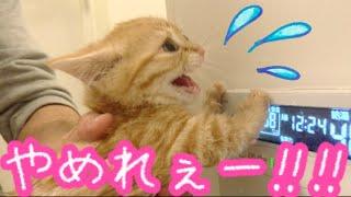 短足マンチカンの子猫茶々がはじめてお風呂に入ったらまさかの顔から!?【前編】Kitten of Munchkin enters for the first time the bath!