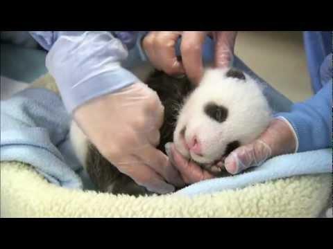 Giant Baby Panda 2012 It's a Boy! San Diego Zoo