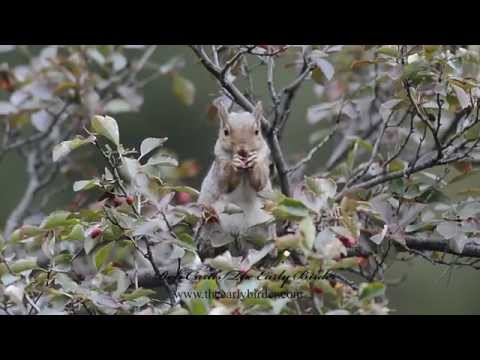 Sciurus carolinensis = EASTERN GRAY SQUIRREL feeding, drinking