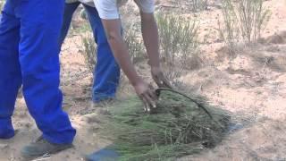 Rooibos farmers in hot water