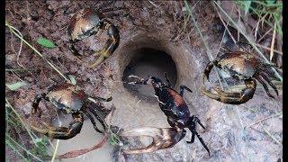 Tập Tành Đi Móc Cua Trong Hang Và Bị Cua Kẹp Cực Thốn .Catch Crab By Hand