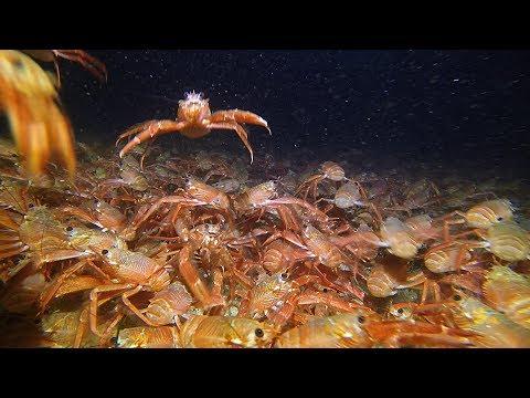 Invasion Of The Tuna Crabs, Redondo Beach, California