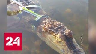 На Клязьминском водохранилище обнаружили крокодила - Россия 24
