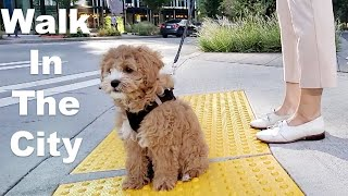 Reaction When Walking Cavapoo Puppy In City