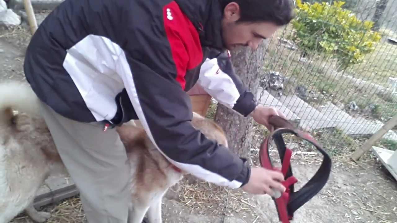 Mettre un harnais chien youtube - Fabriquer un harnais pour chien ...