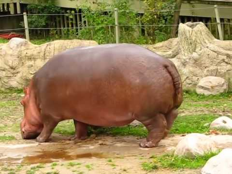 Hippo gets explosive diarrhea sounds like a chainsaw