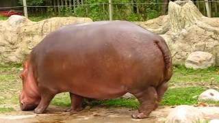 Hippo gets explosive diarrhea sounds like a chainsaw