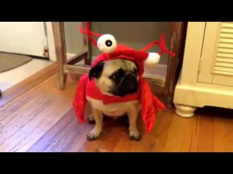 Mushu the Pug Dog As a Lobster