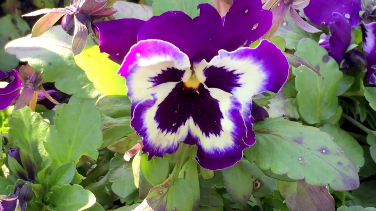 British Spring Blossoms Violet White Butterfly Like Pansies
