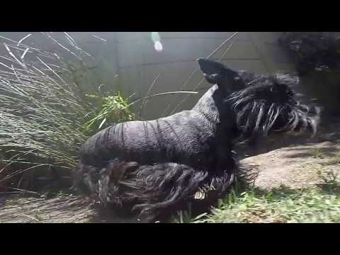Our Scottish Terrier playing in the garden
