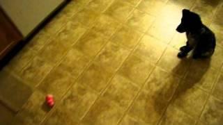 German Shorthaired Pointer Puppy 10 Weeks Old Tricks