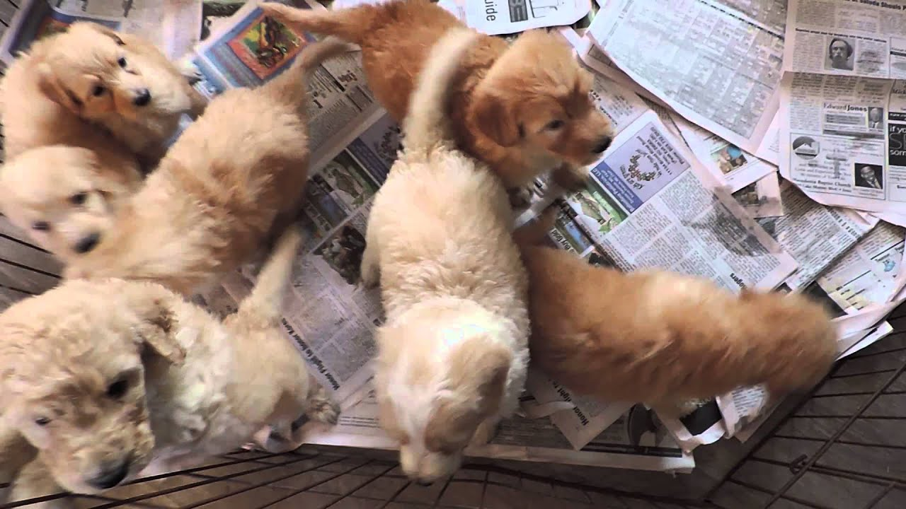 911 R For Sale >> McKenzie's Shepadoodle puppies for sale - YouTube