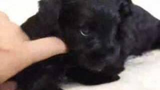 6月1日生まれのミニチュアシュナウザー、ブラック、オスの子犬です。詳...